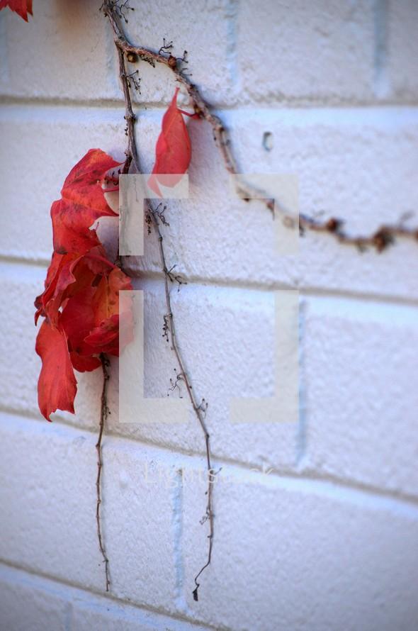 red leaf ivy