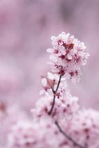 A cherry blossom branch