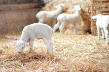 Baby sheep eating hay in hay barn