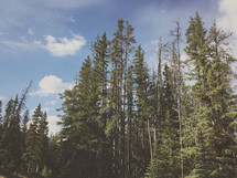 an iPhone capture of these tall and rugged mountain trees