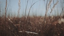 tall brown grasses in a field