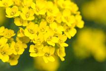 yellow madwort flowers