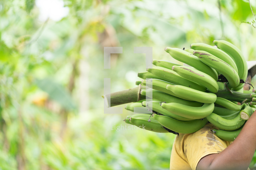 man carrying green bananas