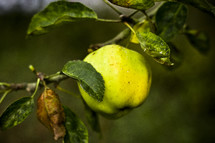 Green apple on a branch