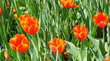 Tulips in bloom in the early Spring.
