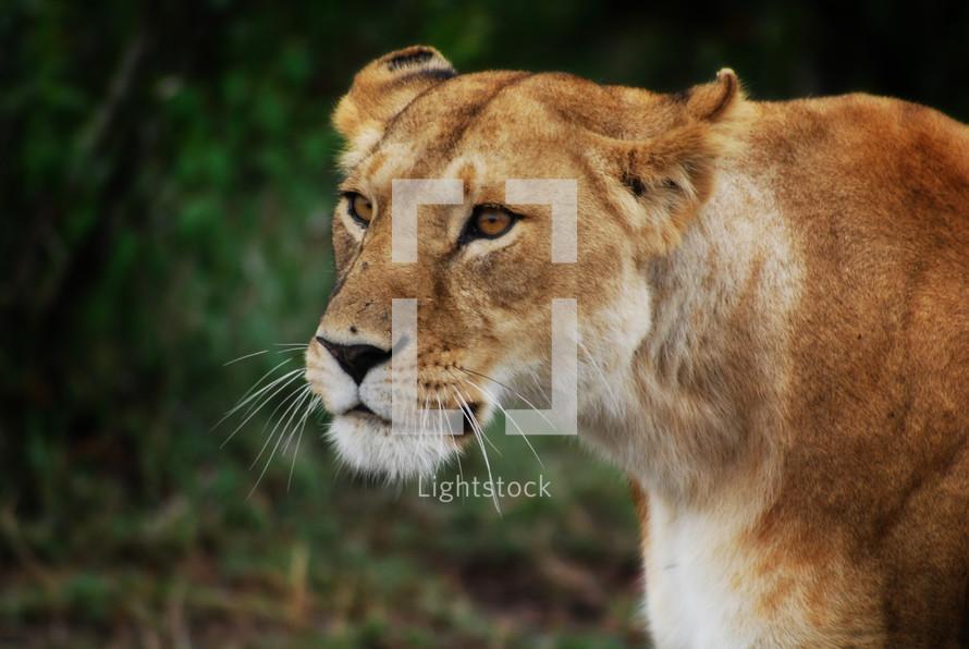 Wild lioness