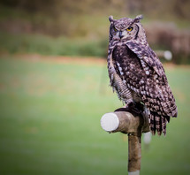 An owl on a perch in a green field.