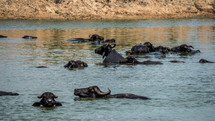 water buffaloes wading in water