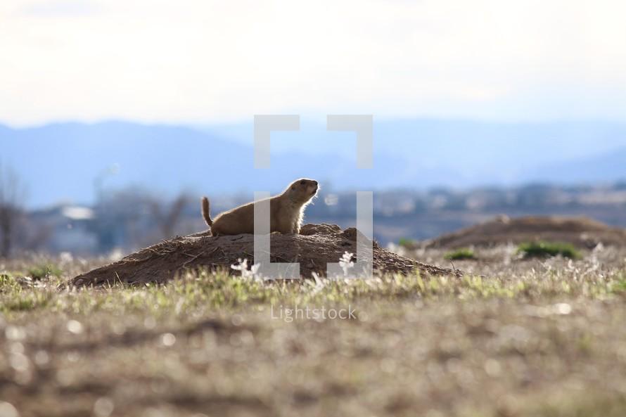 prairie dog in a burrow