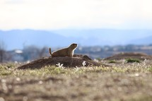 prairie dog in a burrow