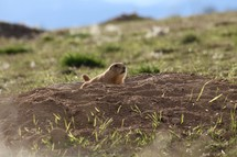 prairie dog burrowing