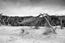 trees on a sand dune
