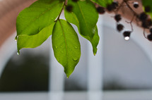 Raindrops on tree branch leaves