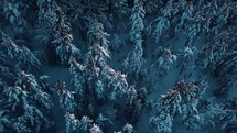 aerial view over a pine forest n winter