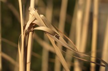 dried reeds