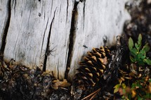 spider, ant, and pine cone on wood in a forest