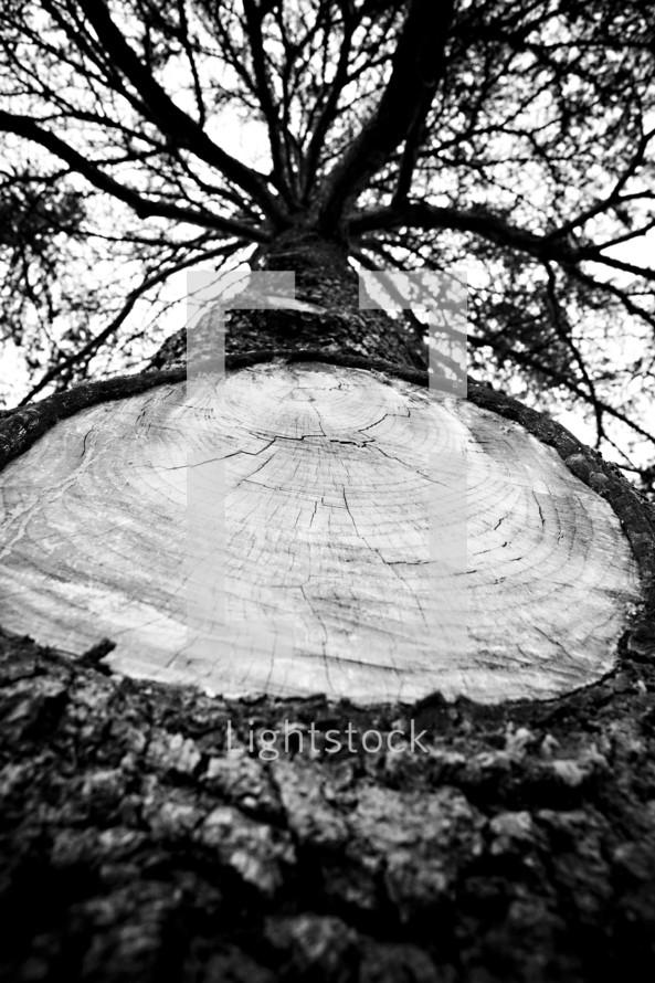 Large tree limb removed stump