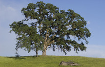 Oak tree in early spring surrounded by green grass against a blue sky background