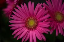 fuchsia gerber daisies