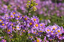 purple daisies in spring