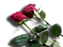 A pair of long stemmed roses against a white background ready to be given as a gift to a loved one for valentines day, a wedding or anniversary to celebrate romantic love.