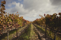 A vineyard with trees in rows