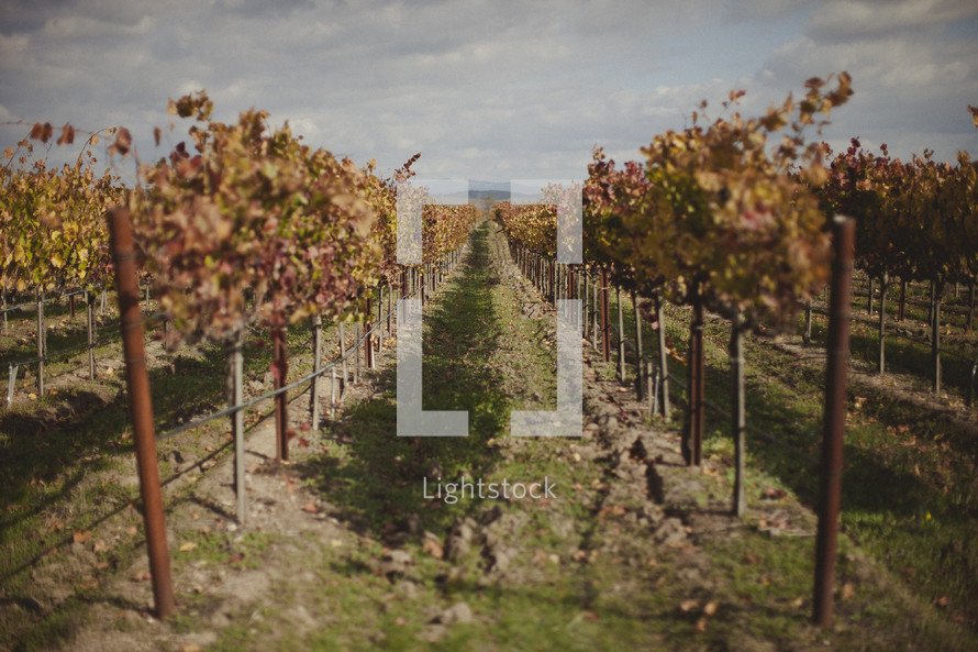 A line of trees within a vineyard