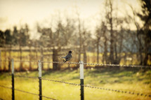 Bird on fence wire