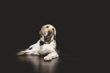 a loyal pet labrador retriever