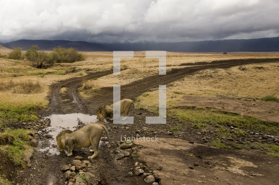 Two lions find a small water source