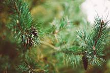 pine cones on a pine tree