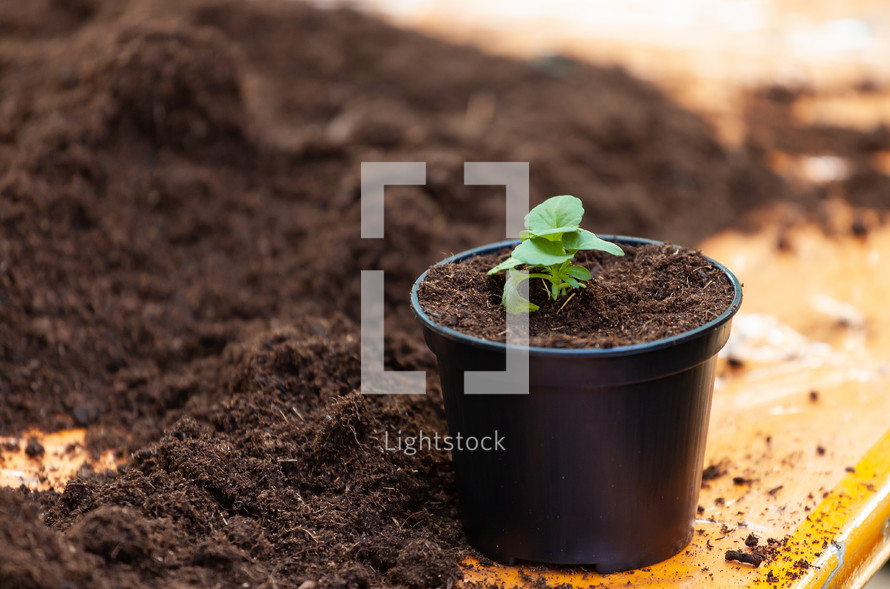 fertile soil and beet sprout