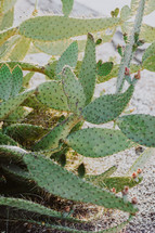 prickly pear cactuses