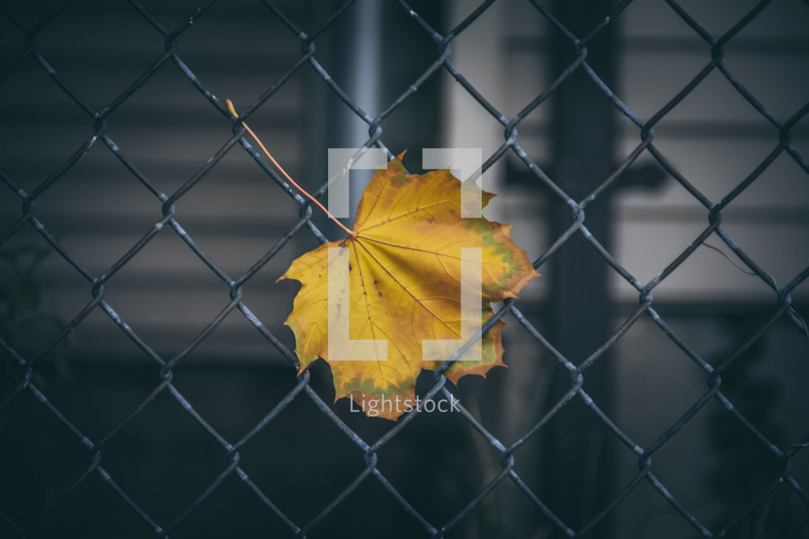 a fall leaf stuck in a chain link fence