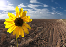 yellow flower in a plowed field
