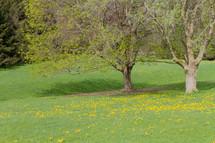 yellow dandelions in a meadow