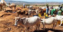 cattle and farmers in Ethiopia