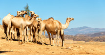 camels in the desert in Ethiopia