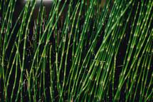 A cane grove.