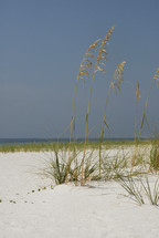 beach -  grass - sea oats