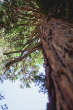 looking up to the top of a tall pine tree