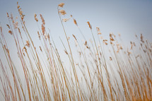 tall grasses and blue sky