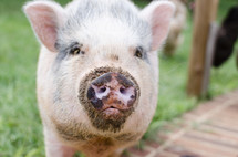 a pig with a dirty snout