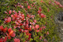 Shrubs with red flowers.