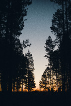 silhouettes, of trees in a pine forest