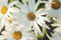 A honey bee on a daisy.