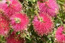 Dwarf Bottle Brush flowers