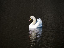 Beautiful white Swan on a man-made body of water in Japan