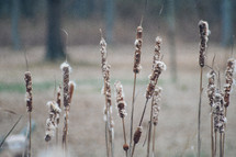 Field of tattered cattails.