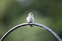 a hummingbird resting on a wet arch